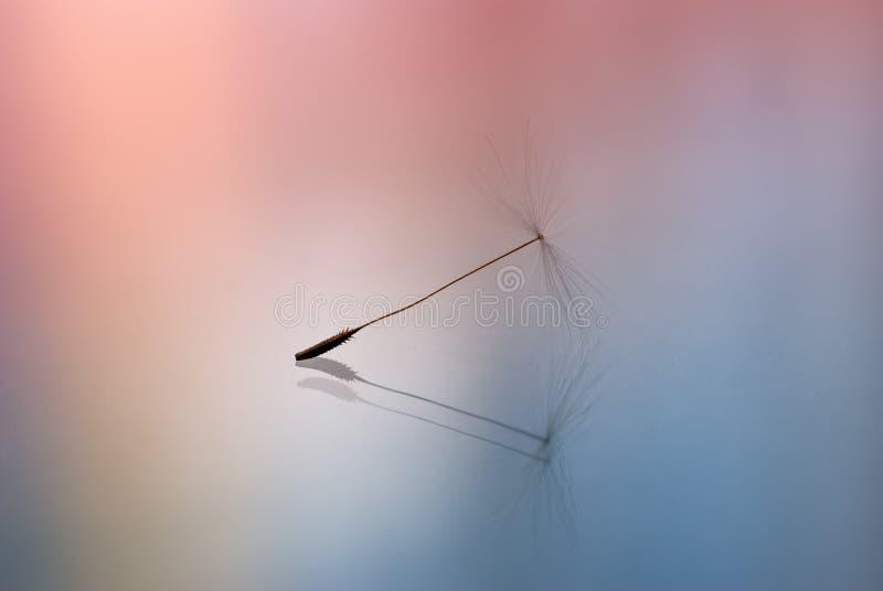 σπόρος πικραλίδων στοκ εικόνα με δικαίωμα ελεύθερης χρήσης