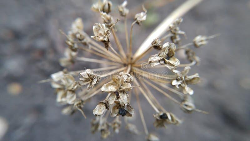 Σπόρος στο κρεμμύδι στοκ φωτογραφία με δικαίωμα ελεύθερης χρήσης