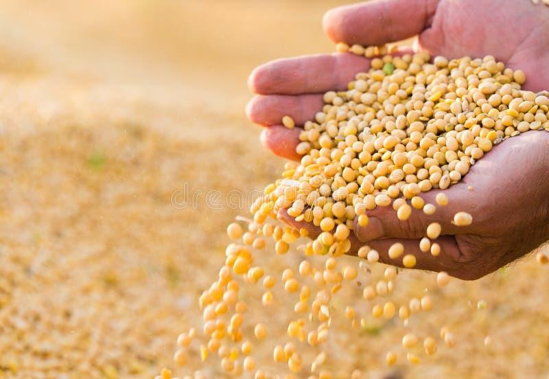 Σπόρος φασολιών σόγιας στα χέρια του αγρότη στοκ φωτογραφία