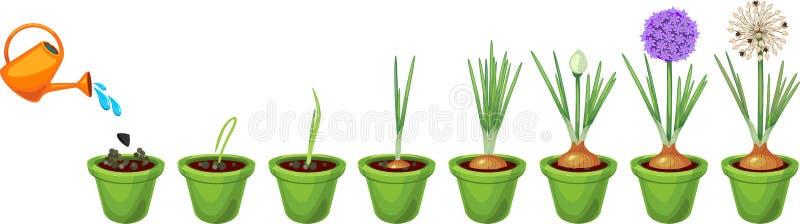Στάδια αύξησης κρεμμυδιών από τη σπορά στο άνθισμα και το fruit-bearing φυτό ελεύθερη απεικόνιση δικαιώματος