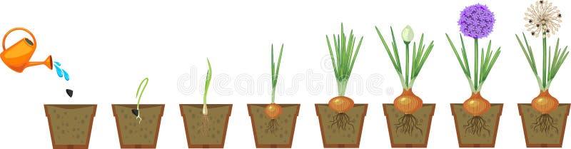 Στάδια αύξησης κρεμμυδιών από τη σπορά στο άνθισμα και το fruit-bearing φυτό διανυσματική απεικόνιση