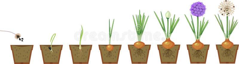 Στάδια αύξησης κρεμμυδιών απεικόνιση αποθεμάτων
