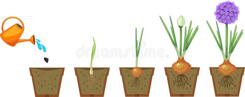 Στάδια της αύξησης κρεμμυδιών από το φυτό στο άνθισμα ελεύθερη απεικόνιση δικαιώματος