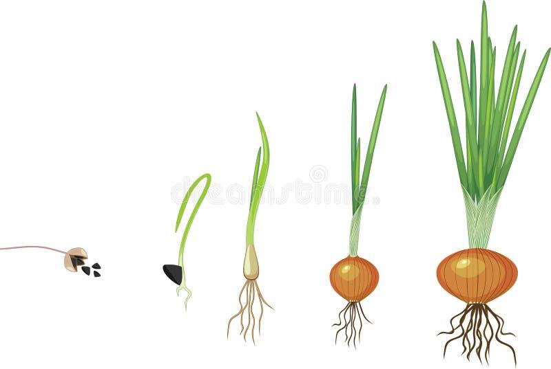 Στάδια της αύξησης κρεμμυδιών διανυσματική απεικόνιση