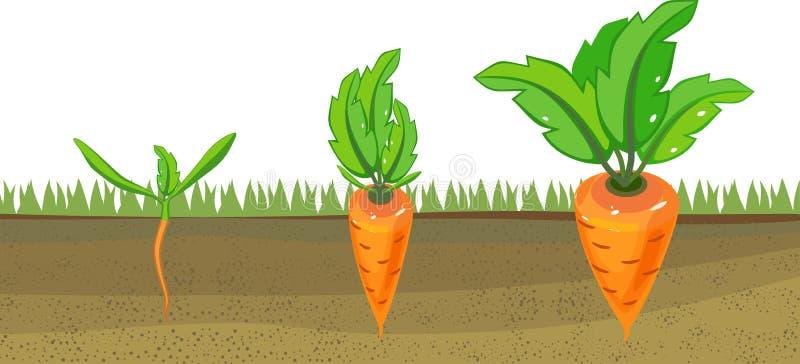 Στάδια της αύξησης των καρότων στο φυτικό μπάλωμα διανυσματική απεικόνιση