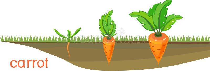 Στάδια της αύξησης των καρότων στο φυτικό μπάλωμα απεικόνιση αποθεμάτων