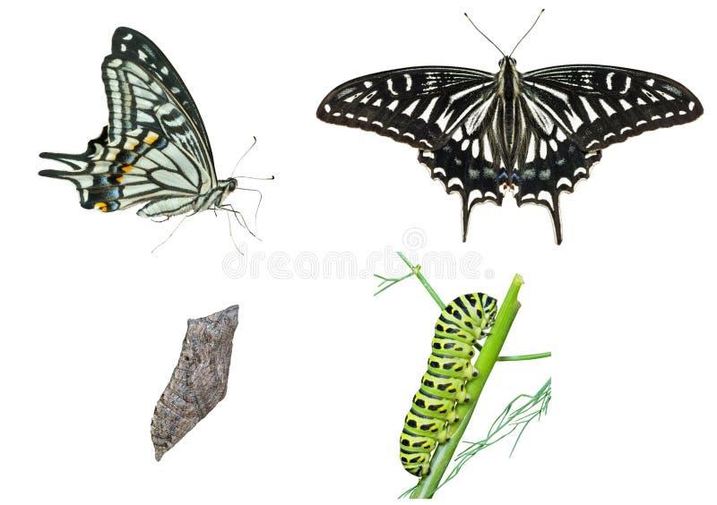 Στάδια της πεταλούδας   στοκ φωτογραφία με δικαίωμα ελεύθερης χρήσης