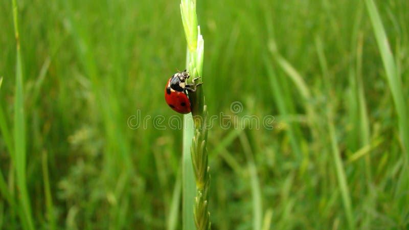 Στάδια του κύκλου ζωής ladybug   Ενήλικο Ladybug στοκ εικόνες με δικαίωμα ελεύθερης χρήσης