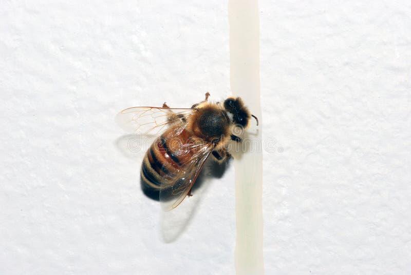 στάζοντας μέλι μελισσών στοκ φωτογραφία