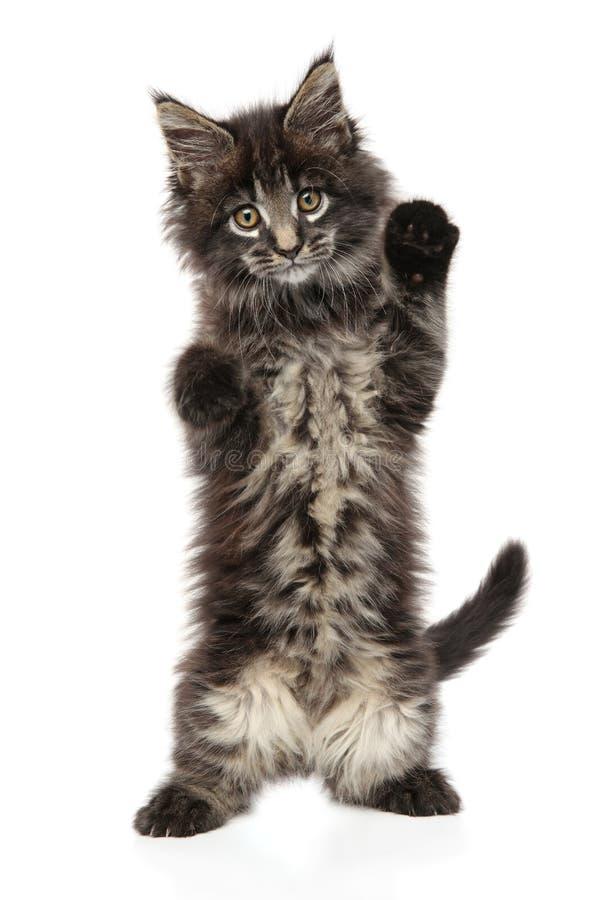 Στάσεις γατακιών του Μαίην Coon πίσω από τα οπίσθια πόδια στοκ φωτογραφία