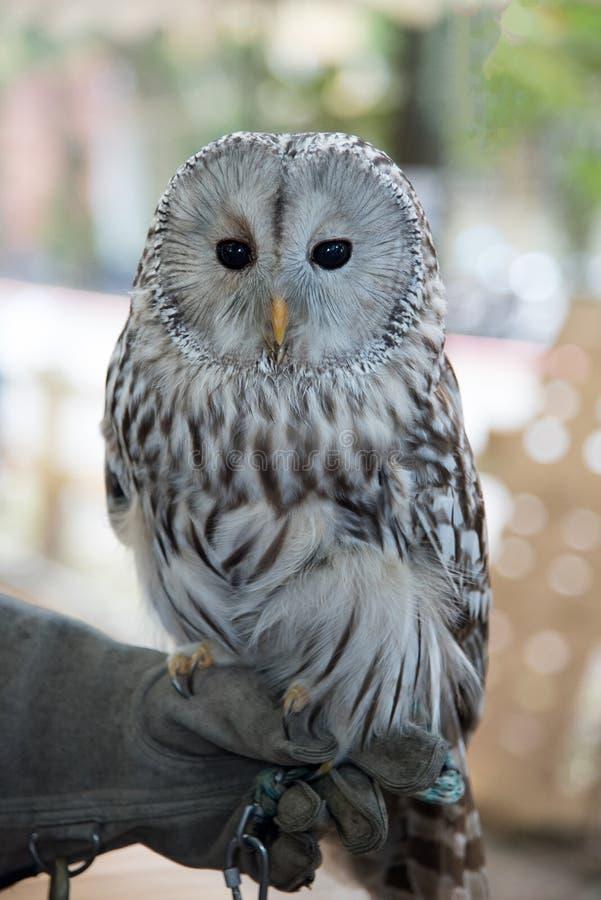 Στάσεις κατοικίδιων ζώων πουλιών κουκουβαγιών σε ετοιμότητα στοκ εικόνες