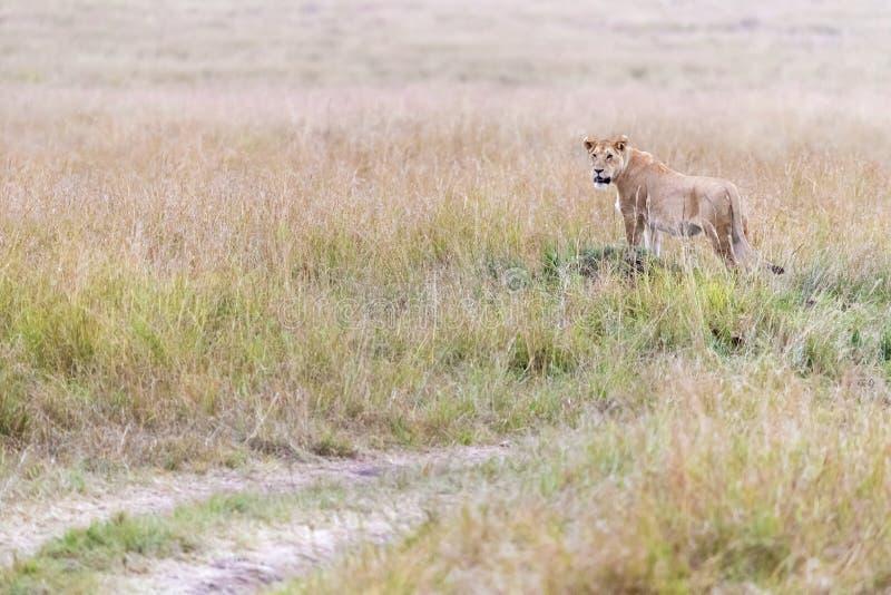 Στάσεις λιονταρινών στη μακριά χλόη του Masai Mara στοκ εικόνα με δικαίωμα ελεύθερης χρήσης