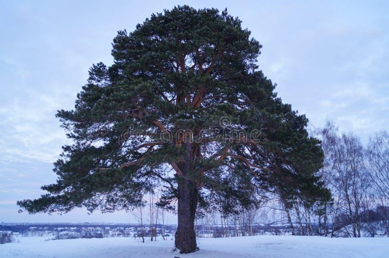 Στάσεις μεγάλες πεύκων δέντρων μόνο το χειμώνα στοκ εικόνα