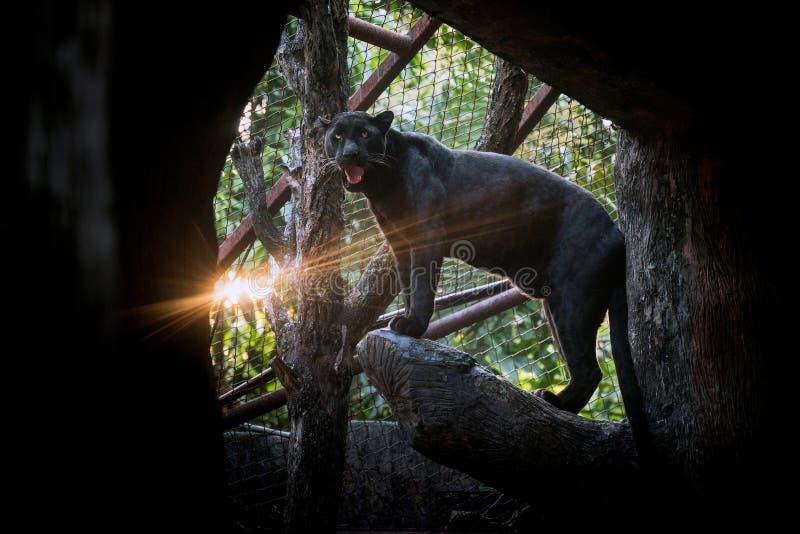 Στάσεις πάνθηρων ή λεοπαρδάλεων στο φυσικό περιβάλλον στοκ εικόνες