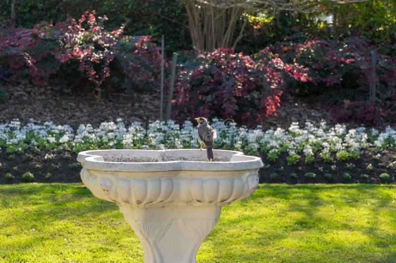 Στάσεις πουλιών στην άκρη του πουλί-λουτρού στον κομψό κήπο στοκ φωτογραφία με δικαίωμα ελεύθερης χρήσης