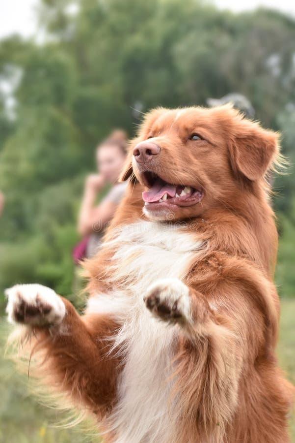 Στάσεις σκυλιών στα οπίσθια πόδια του στοκ φωτογραφίες