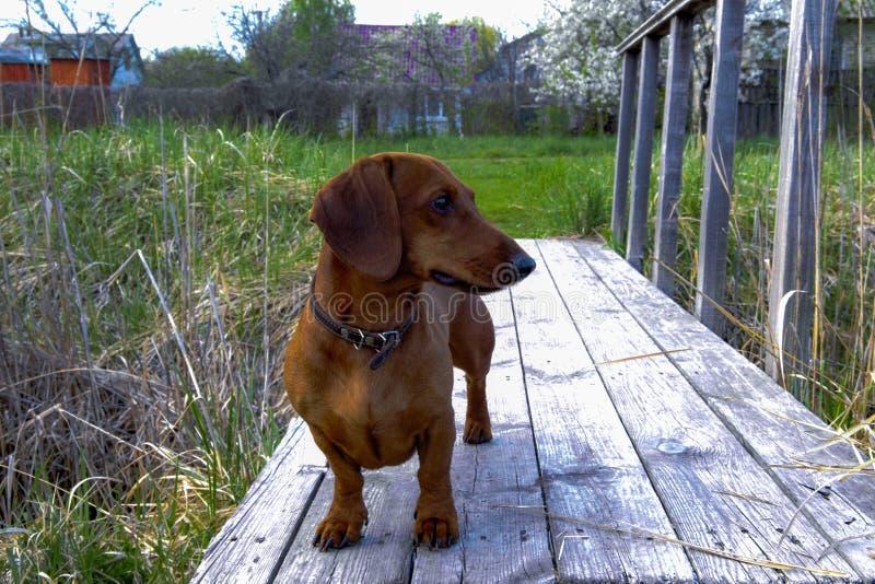 Στάσεις σκυλιών φυλής Dachshund σε μια γέφυρα πέρα από ένα ρεύμα στοκ φωτογραφίες με δικαίωμα ελεύθερης χρήσης