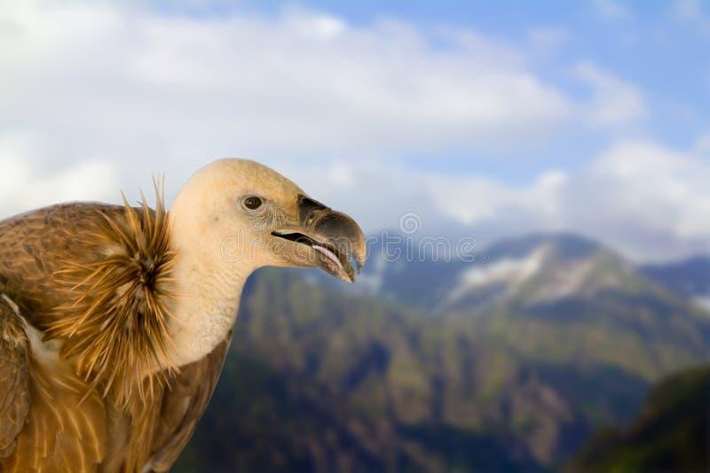 Στάσεις συνεδρίασης άγριας φύσης πουλιών του Griffin επάνω ενάντια στα υψηλά βουνά και το μπλε ουρανό στοκ φωτογραφίες με δικαίωμα ελεύθερης χρήσης