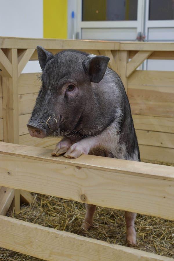 Στάσεις Piggy στα οπίσθια πόδια του και υπόλοιπα σε έναν ξύλινο φράκτη στοκ φωτογραφίες με δικαίωμα ελεύθερης χρήσης