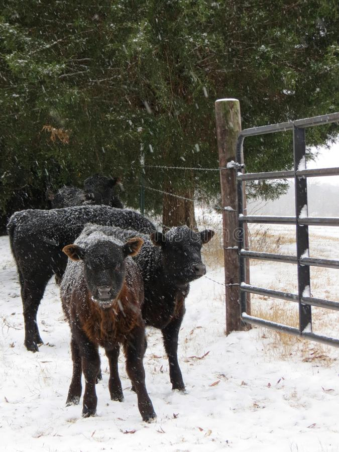Στάση αγελάδων από το χιονώδη φράκτη στοκ εικόνες