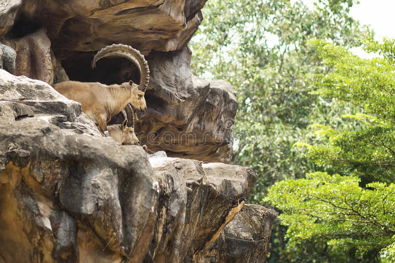Στάση αγριοκάτσικων Nubian στον απότομο βράχο στοκ εικόνες με δικαίωμα ελεύθερης χρήσης