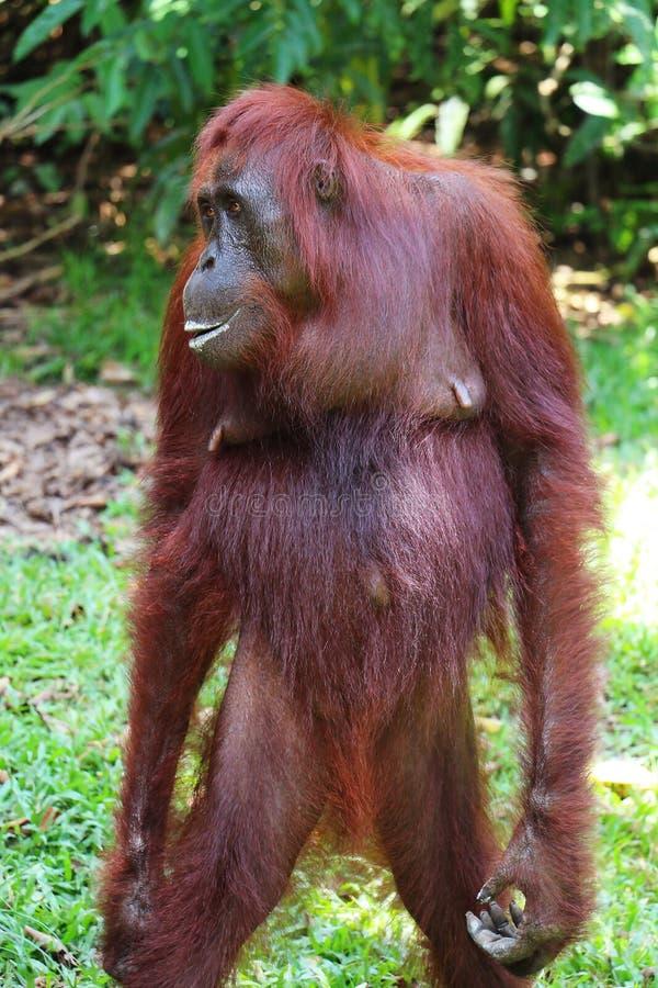 Στάση θηλυκού orangutan στο δάσος του Μπόρνεο στοκ φωτογραφίες με δικαίωμα ελεύθερης χρήσης