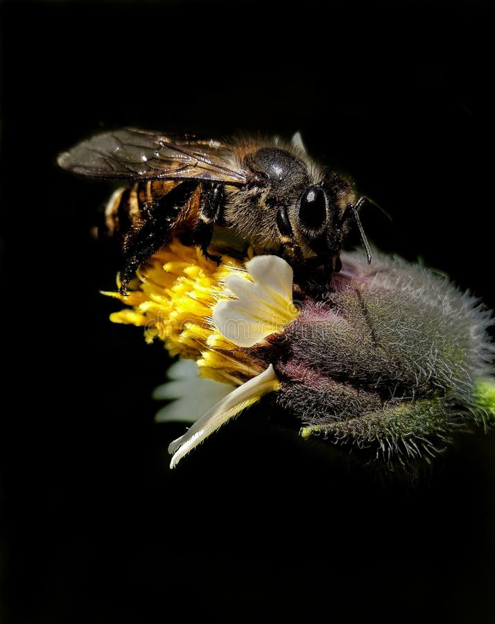 Στάση μελισσών στο λουλούδι στοκ φωτογραφία