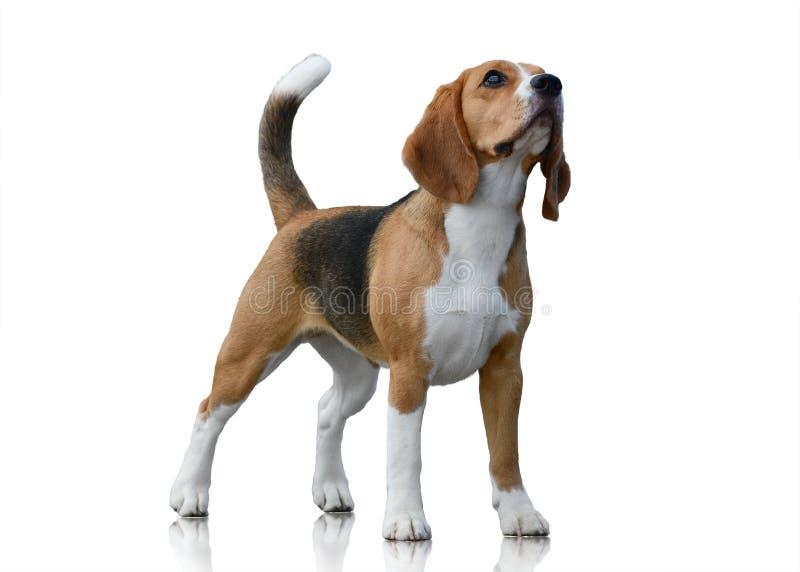 Στάση σκυλιών λαγωνικών που απομονώνεται στο άσπρο υπόβαθρο Μπροστινή όψη στοκ εικόνα με δικαίωμα ελεύθερης χρήσης