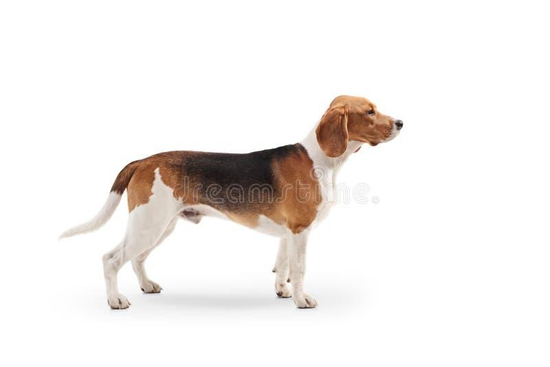 Στάση σκυλιών λαγωνικών στοκ φωτογραφία