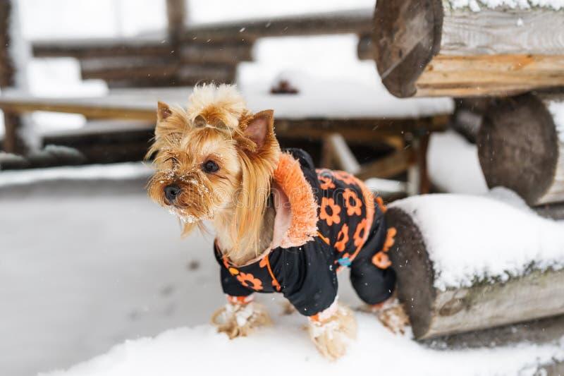 Στάση τεριέ του Γιορκσάιρ στο κούτσουρο Μικρό σκυλί πορτρέτου στη χειμερινή καλύβα στοκ εικόνες