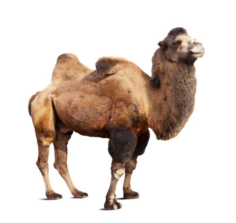 Στάση της βακτριανής καμήλας στην άσπρη ανασκόπηση στοκ εικόνα με δικαίωμα ελεύθερης χρήσης
