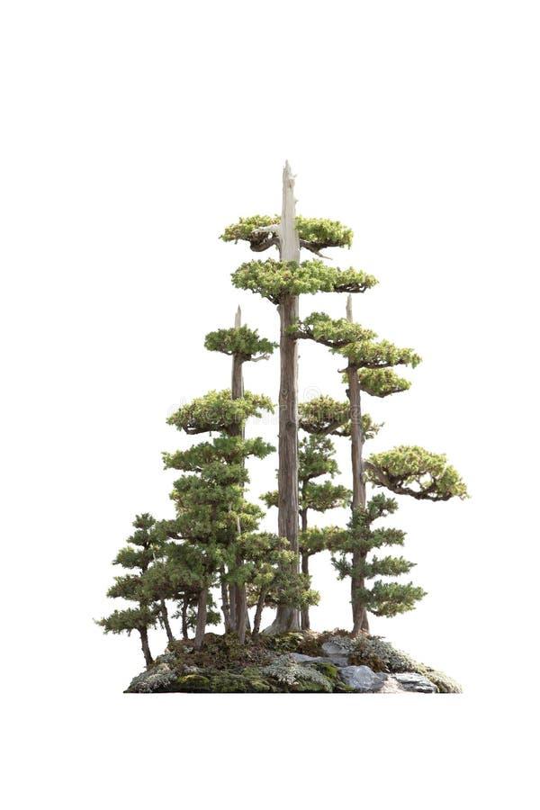 Στάση των δέντρων πεύκων, που απομονώνεται στοκ εικόνα