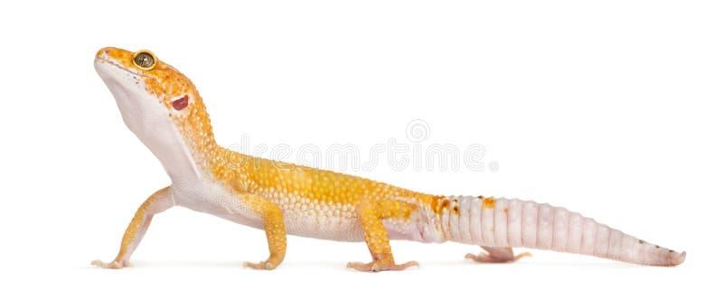 Στάση gecko λεοπαρδάλεων, που απομονώνεται στοκ εικόνα
