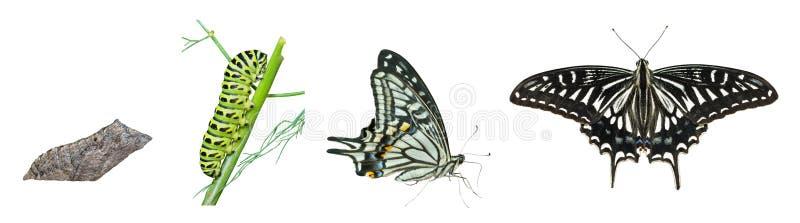 Στάδια της πεταλούδας 4 στοκ εικόνα