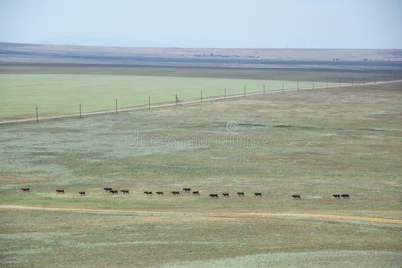 Στέπα Κριμαία, χερσόνησος Kerch Βοσκή βοοειδών στοκ εικόνες με δικαίωμα ελεύθερης χρήσης