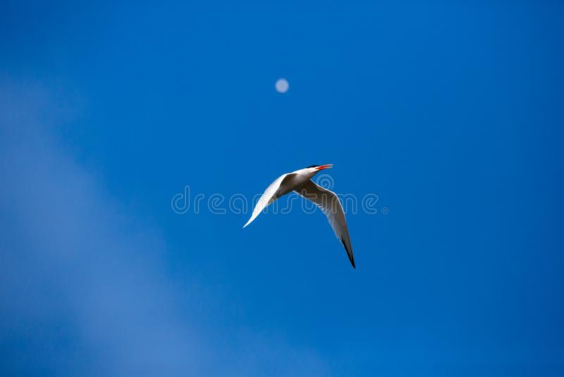 Στέρνα που πετά στον αέρα την έρευνα για έναν σύντροφο στην εποχή αναπαραγωγής στοκ εικόνα