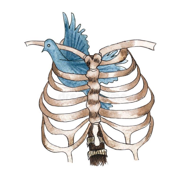 Στήθος και περιστέρι σκελετών Watercolor που κολλιούνται μέσα απεικόνιση αποθεμάτων