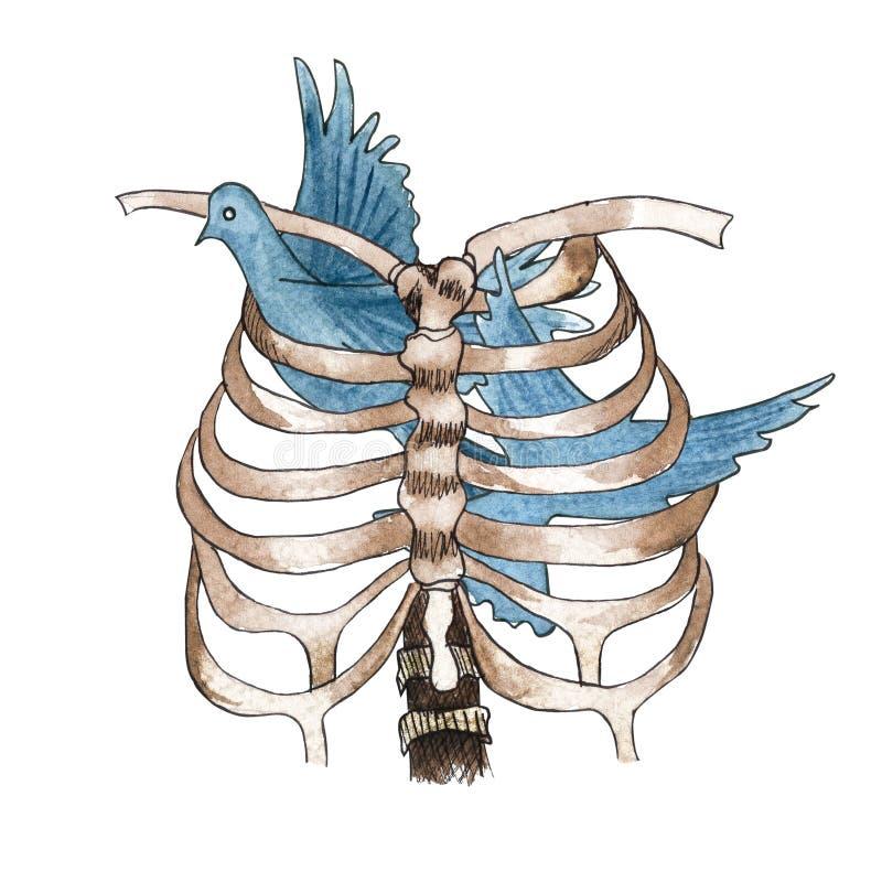 Στήθος και περιστέρι σκελετών Watercolor που κολλιούνται μέσα ελεύθερη απεικόνιση δικαιώματος