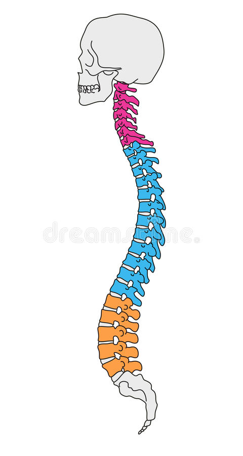 στήλη ανατομίας σπονδυλ&i διανυσματική απεικόνιση