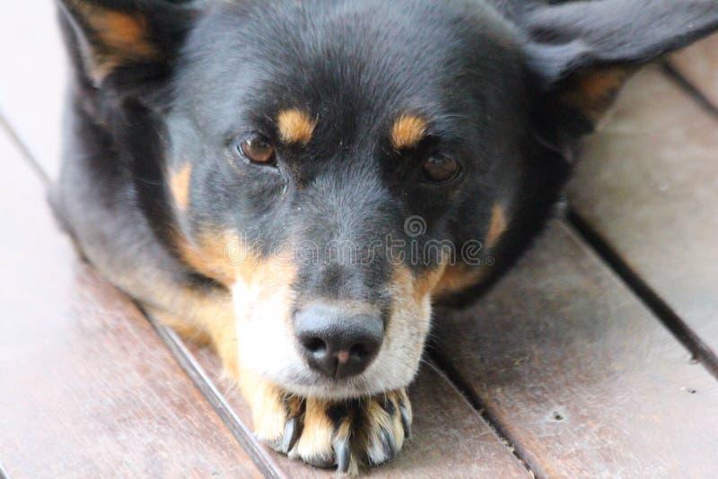 Στήριξη σκυλιών Kelpie στοκ φωτογραφία με δικαίωμα ελεύθερης χρήσης