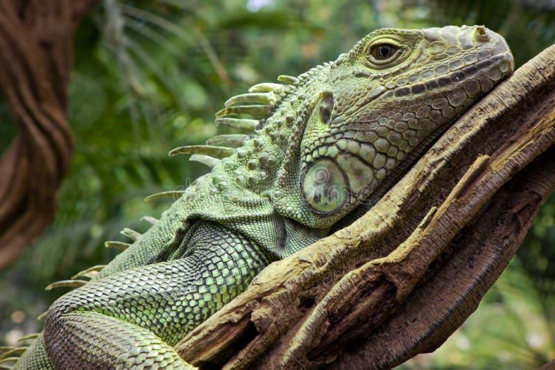 στήριξη iguana κλάδων στοκ εικόνα