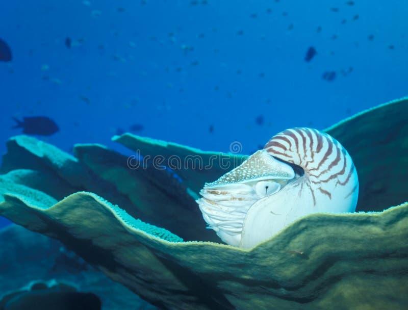 στήριξη nautilus κοραλλιών στοκ εικόνα