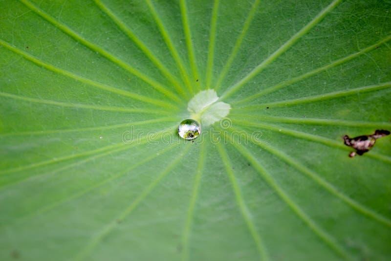 Σταγονίδιο στο φύλλο Lotus στοκ εικόνα
