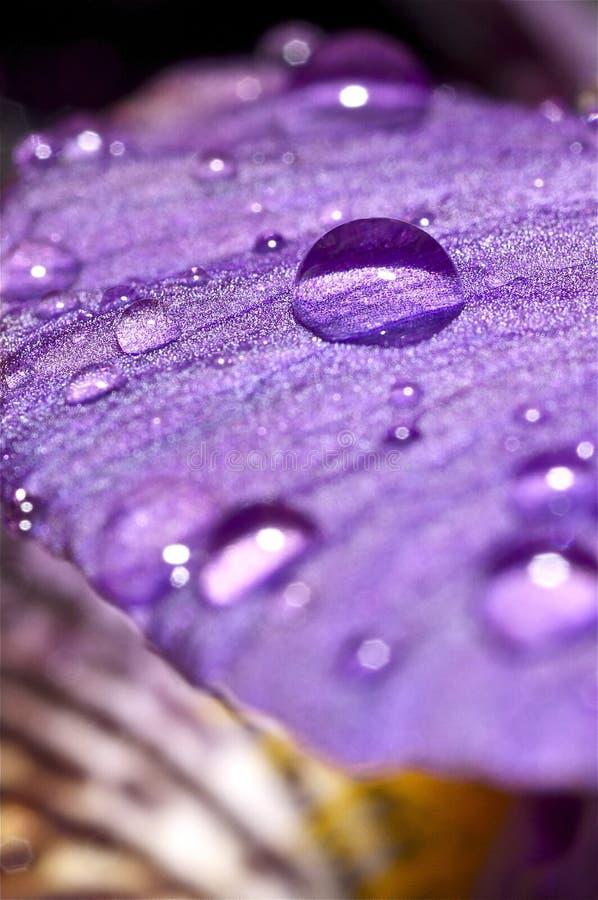 Σταγονίδια νερού σε ένα πορφυρό λουλούδι στοκ εικόνα