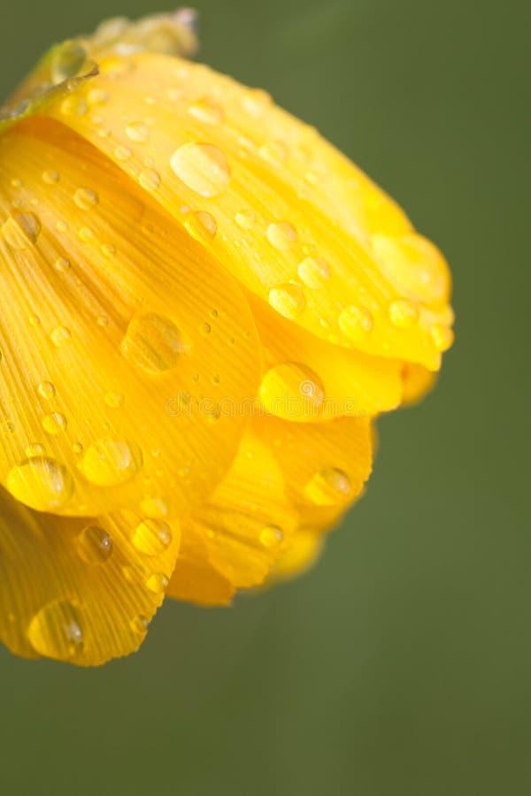 Σταγόνες βροχής ή δροσιά στο σφαίρα-λουλούδι λουλουδιών στοκ εικόνα