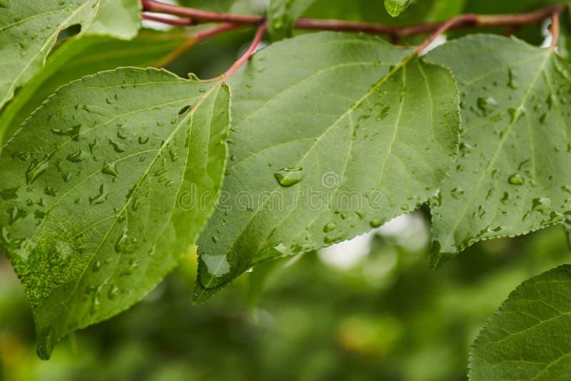 Σταγόνες βροχής πρωινού νερού στα φύλλα του πράσινων δέντρου και των θάμνων Βροχή μια νεφελώδη και λυπημένη ημέρα στον κήπο στοκ φωτογραφίες με δικαίωμα ελεύθερης χρήσης