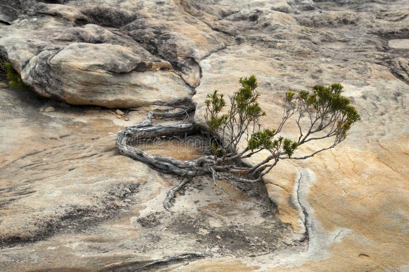 Σταματημένη ανάπτυξη δέντρων στους βράχους ψαμμίτη στο βασιλικό εθνικό πάρκο στοκ φωτογραφία