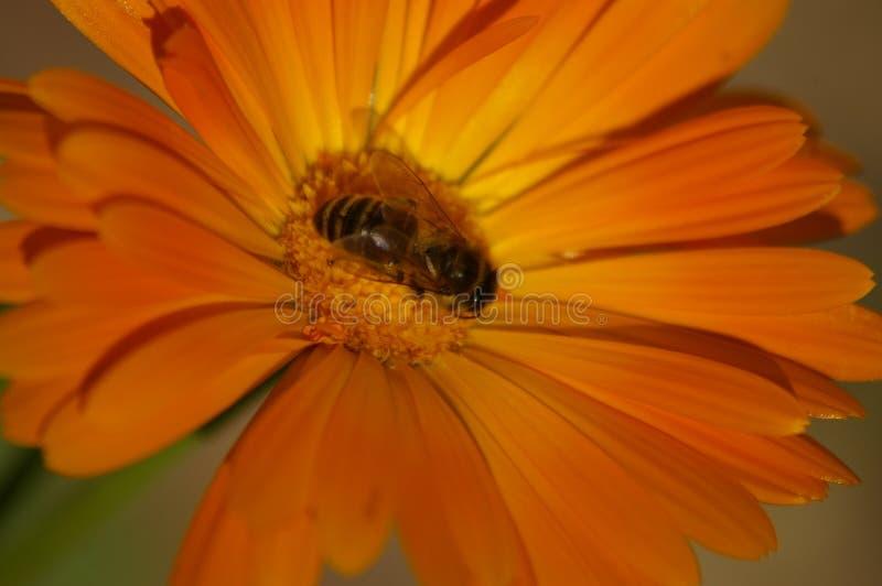 Σταυρός μελισσών μελιού που επικονιάζει ένα πορτοκαλί λουλούδι στοκ εικόνες