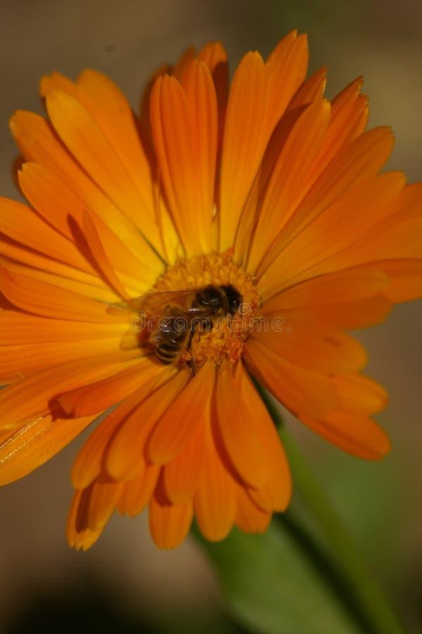 Σταυρός μελισσών μελιού που επικονιάζει ένα πορτοκαλί λουλούδι στοκ εικόνα