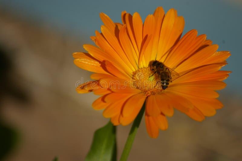Σταυρός μελισσών μελιού που επικονιάζει ένα πορτοκαλί λουλούδι στοκ εικόνες με δικαίωμα ελεύθερης χρήσης